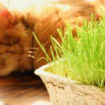 猫草の代わりに食べても大丈夫?豆苗や水菜などスーパーで買える野菜
